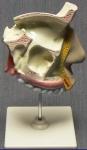 Модель разреза носоглотки