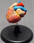 Модель сердца мини