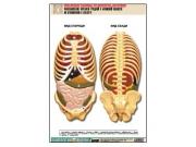 """Рельефная таблица """"Расположение органов грудной и брюшной полостей по отношению к скелету""""(А1, лам.)"""