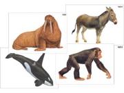 """Модель-аппликация """"Разнообразие высших хордовых 2. Млекопитающие"""" (ламинированная)"""