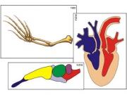"""Модель-аппликация """"Эволюция важнейших систем органов позвоночных"""" (ламинированная)"""