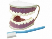 """Модель """"Гигиена зубов"""""""